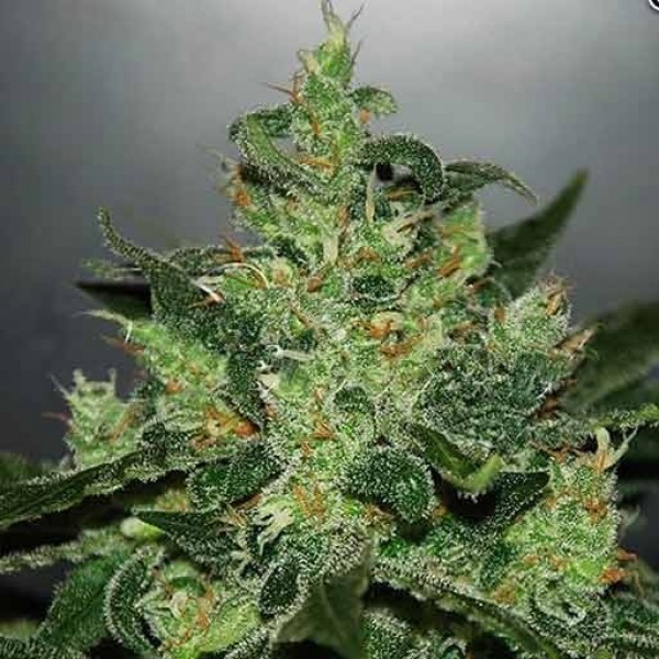 1 UND FEM - CRITICAL JACK HERER (AUTOMATIC LINE)