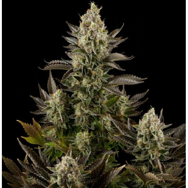 3 UND FEM - WHITE WIDOW