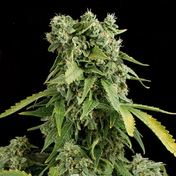10 UND FEM - BLUE CHEESE AUTOFLOWERING