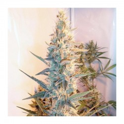 4 UND FEM – OUTDOOR GRAPEFRUIT